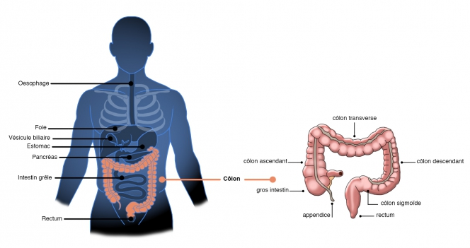 colon-anatomie